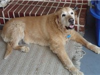 A golden retriever at 15 years old.