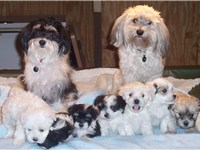 A litter of seven puppies with a variety of colors.