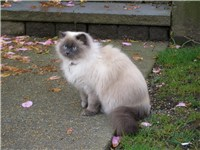 A Blue point Himalayan