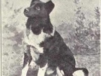 A photo of a dog described as an Iceland Dog, printed in W.E. Mason's Dogs of all Nations in 1915.