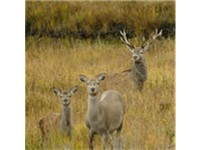 The red deer (Cervus elaphus) is Ireland's largest wild mammal and could be considered Ireland's nat