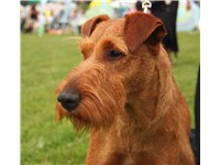 An Irish Terrier with good ear carriage