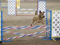 Irish Terriers are very active, but can be challenging to train; they are active dogs and need consi