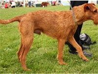 An Irish Terrier with an un-docked tail