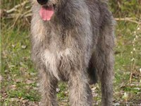 A female wolfhound
