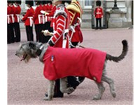 Irish Guards' mascot in parade dress
