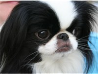 Japanese Chin have a distinctive face.