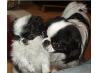 A Japanese Chin puppy with an adult Japanese Chin.