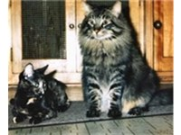 Illustrating the size difference between a mixed breed female (left) and a male Maine Coon (right)
