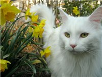 An all-white Maine Coon