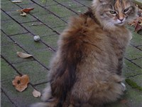 A brown-patched tabby Maine Coon
