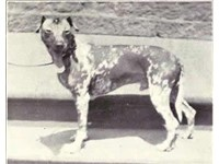 Mexican Hairless circa 1915