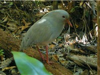 The endemic Kagu bird