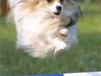 The Papillon is a highly athletic breed. This Papillon is demonstrating the breed's great speed in d
