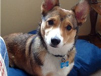 A Corgi with sable markings.