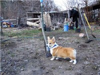 Red and white Pembroke Corgi on the farm, pictured at 5 months.