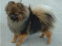 An Orange Sable Pomeranian