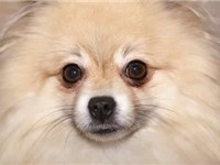 Close up of the muzzle and facial features of the Pomeranian.