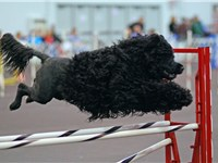 Portuguese Water Dogs are active and well-suited to many dog sports.