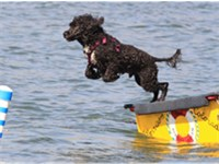 A Portuguese water dog competes during a water trial at Chatfield State Park in Colorado.