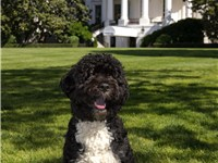 "Official portrait of ""Bo Obama"", a Portuguese water dog and the presidential pet of Barack Obama and"