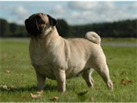 Care must be taken to prevent a Pug from becoming overweight.