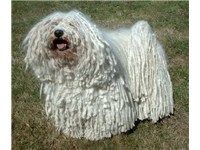 White Puli with thicker coat strings
