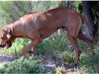 A Ridgeback on trail.