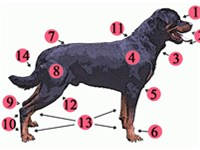 Anatomy of the Rottweiler