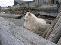 A Samoyed male on the beach.