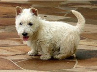 Although black is the most traditional color for a Scottie, wheaten Scotties can also be found, as s