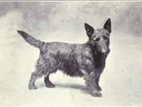 Scottish Terrier circa 1915