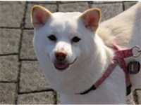 Cream is a color not recognized by any major kennel club