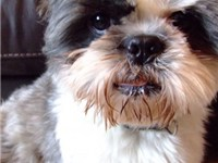 "Shih Tzu with a ""puppy clip"""
