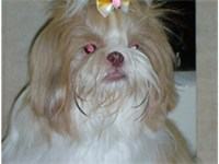 White and brown Shih Tzu