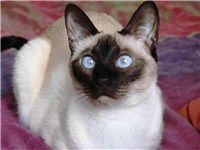 "A two-year-old ""traditional"" Seal Point Siamese cat"