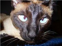 This Siamese cat demonstrates the once common cross-eyed trait that has largely been bred out.