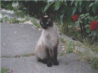 Adult female Balinese cat (siamese longhair)