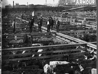 Men walking on cattle pens in the Chicago stockyard (1909)