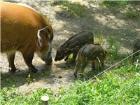 Red River Hog and piglets, African Savanna, Toronto Zoo