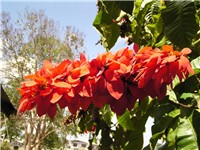 The Chaconia (Warszewiczia coccinea) is the national flower of Trinidad and Tobago.