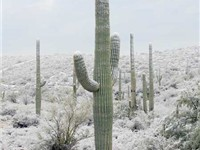 Tucson is noted for its abundant saguaros that, on rare occasions, are covered with light snow