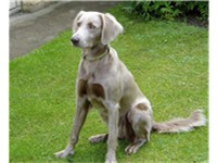 A long-haired Weimaraner