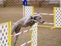 Weimaraners are highly athletic and trainable, characteristics which allow them to excel in a variet