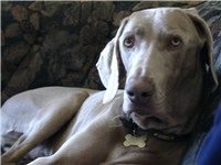 A Picture of a curious Weimaraner.