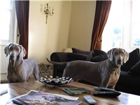 2 fully grown Weimaraners
