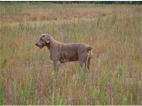 Two year old Weim in the field hunting.