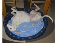 Whippet sleeping in the 'cockroach' position characteristic of sighthounds