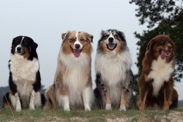 Australian Shepherd Images, Temperament, and Life Expectancy ...