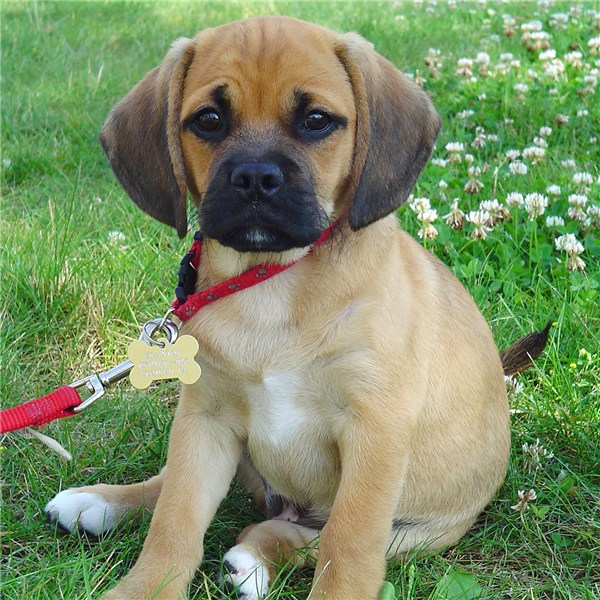 Beagle pug cross